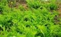 云南嘉農年華滇圣草黃精種植帶動當地農民增收