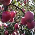 苹果苗批发