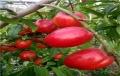 8公分桃树基地、8公分桃树报价