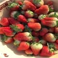 艳丽草莓苗¡¢艳丽草莓苗多少钱一棵