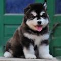 賣狗賣狗東莞那里有賣阿拉斯加