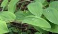 湖北鑫希望生態農業黃精種植讓合作戶能更好發展