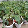 菠萝莓草莓苗批发基地