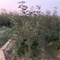 烟富8号苹果树苗基地