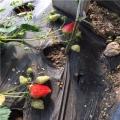 山东草莓苗价格
