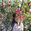 矮化苹果树苗