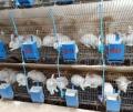 供甘肅慶陽兔子養殖和平涼兔場