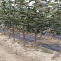 2019年優質蘋果樹苗價格、優質蘋果樹苗多少錢一棵