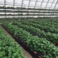 山东幸之花草莓苗、幸之花草莓苗多少钱一棵