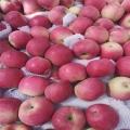 煙富0號蘋果樹苗新品種、2020年煙富0號蘋果樹苗價錢