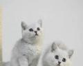 英短銀漸層貓廣州那里有賣銀漸層,英短適合新手