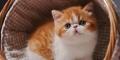 買寵物貓廣州貓場廣州那里有賣加菲貓
