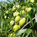蜂糖李李子苗專業種植模式指導
