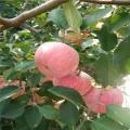 定植兩年的蘋果實生苗出售