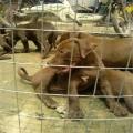 浙江比特犬狗崽价格是多少钱 那里有纯比特犬出售