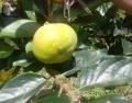 日本甜柿子樹苗供應、日本甜柿子樹苗采購熱線
