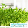 益康園芽苗菜種植技術老師介紹常吃生菜的好處