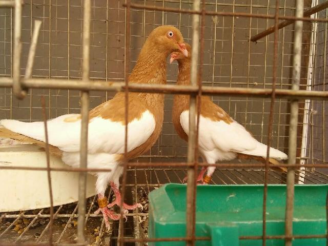 新疆和田观赏鸽品种进口元宝鸽价格