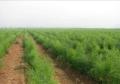芦笋的种植季节