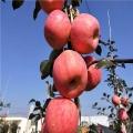 5公分苹果苗、5公分苹果苗批发基地