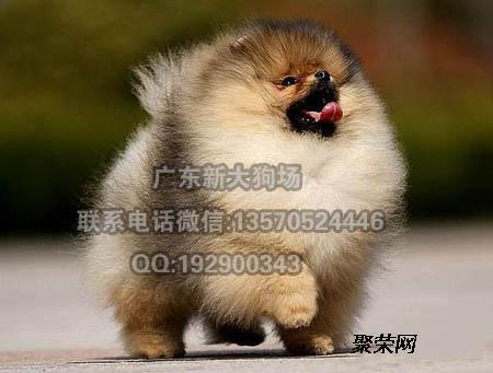 纯种阿拉斯加犬价格 熊版阿拉斯加 阿拉斯加多少钱