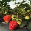 牛奶草莓苗多少钱一棵