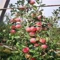 蛇果苹果树苗基地