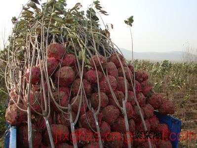 3公分樱桃树,4公分樱桃树新品种