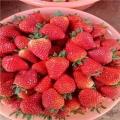 美十三草莓苗批发