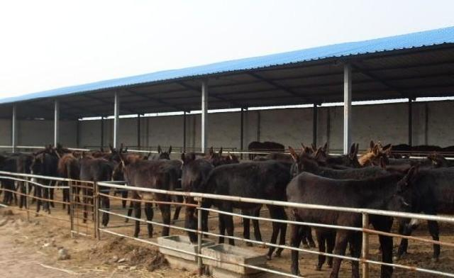 肉驴养殖赚钱吗 小驴崽多少钱一头 肉驴价格