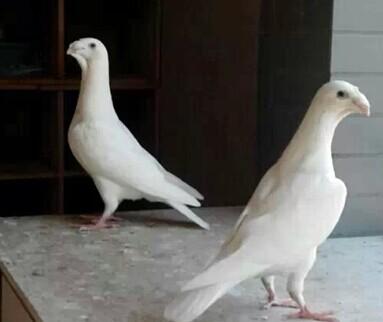 微信动物头像鸽子