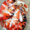 北京哪里卖观赏鱼锦鲤£¬鱼苗批发£¬观赏鱼价格