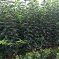 煙富111蘋果樹苗、煙富111蘋果樹苗基地