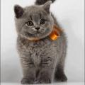 健康的藍貓廣州那里有賣英短藍貓