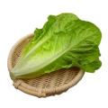 散葉羅馬生菜新鮮果蔬綠色蔬菜沙拉火鍋西餐食材批發銷售