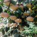 中華壽桃桃樹苗、中華壽桃桃樹苗報價及價錢