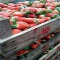 牛奶草莓苗出售价格