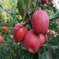 小國光蘋果樹苗、小國光蘋果樹苗批發價位