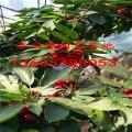 俄罗斯八号樱桃树苗、俄罗斯八号樱桃树苗优良心品质