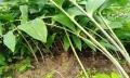 湖北鑫希望生態農業黃精種植表現強大競爭優勢