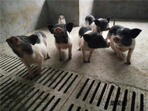手机验证香猪市场价格 小香猪多少钱