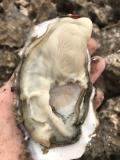 井冈山生蚝批发供应,生蚝养殖自产自销, 鲜活生蚝价格多少钱
