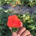 九香草莓苗、九香草莓苗价格