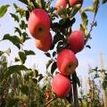 富士蘋果苗出售、富士蘋果苗價錢及報價