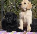 深圳啥地方有賣拉布拉多犬的價貴不