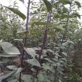 煙富0號蘋果樹苗、煙富0號蘋果樹苗供應商