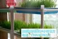 益康園芽苗菜老師介紹自己在家種植芽苗菜的方法