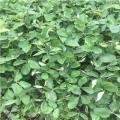 日本淡雪草莓苗多少钱一棵