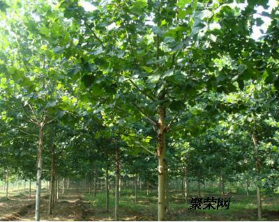 常绿树桑树图片