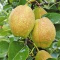 新梨7號砂梨梨苗專業種植模式簡介